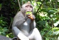 Ein Affe im Monkey Forest in Ubud