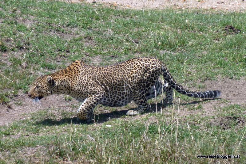 Ein Leopard in der Masai Mara