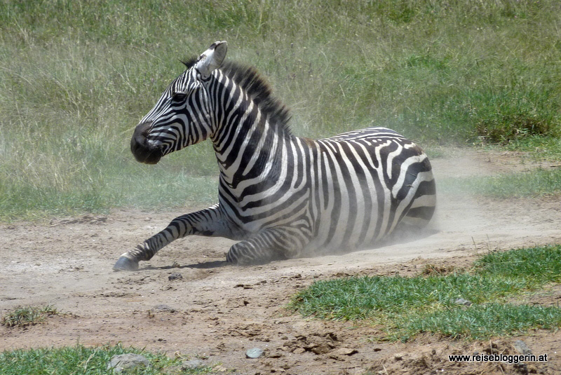 Zebra am Lake Nakuru