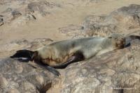 Cape Cross mit vielen Robben