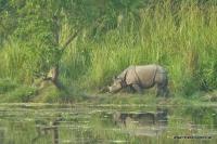 Nashorn im Chitwan Nationalpark