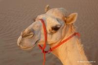 Eine Kameldame