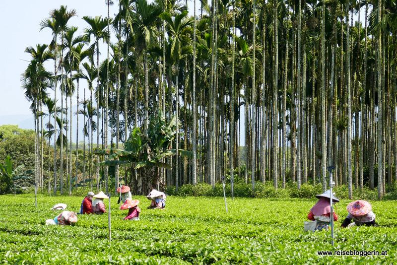 Teepflückerinnen in Taiwan