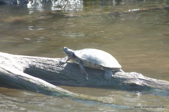 Schildkröten in Zapata