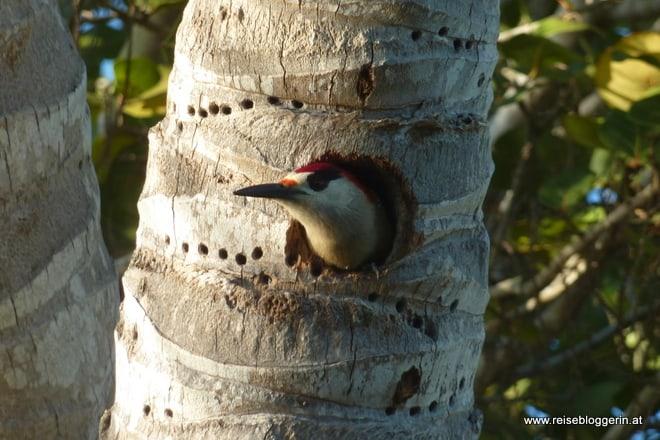 Ein Specht guckt aus seinem Loch im Baum