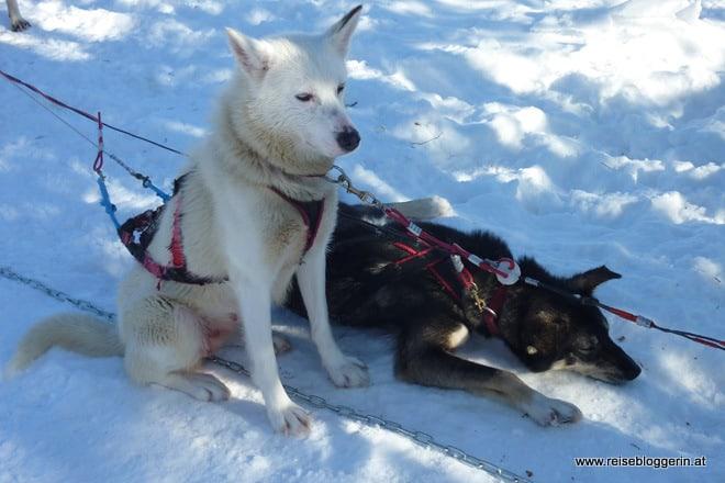 Finnische Huskies sind schnell
