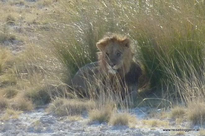 Alter Löwe