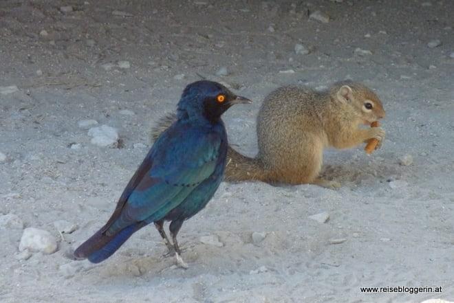 Eichhörnchen in Namibia am Campingplatz