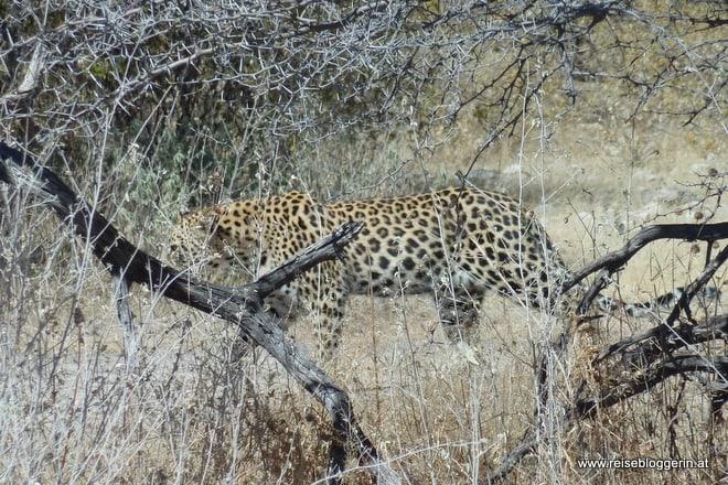 Ein Leopard im Etosha Nationalpark