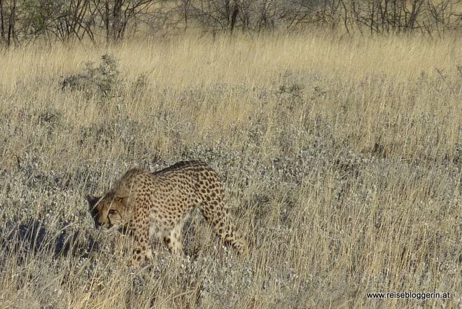 Leopard im Etosha Nationalpark in Namibia