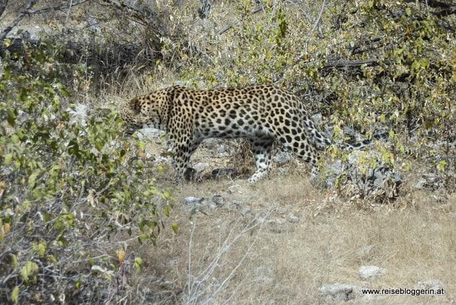 Leopard im Etosha Nationalpark