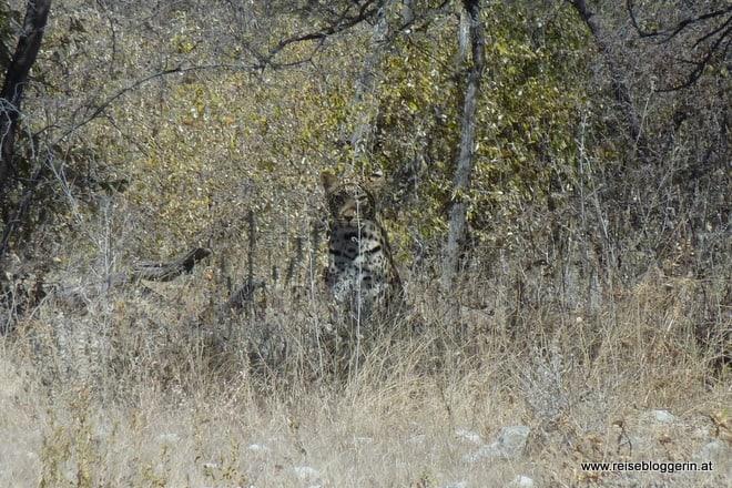 Ein Leopard starrt mich an