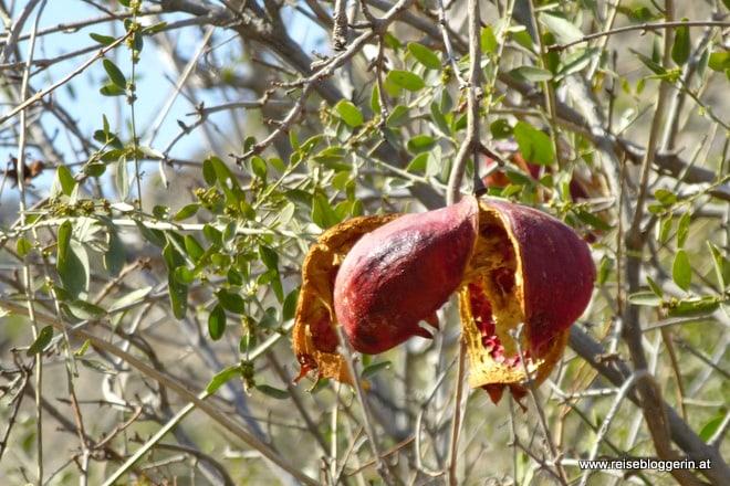 Granatapfel im fruchtbaren Tal Jebel Akhdar