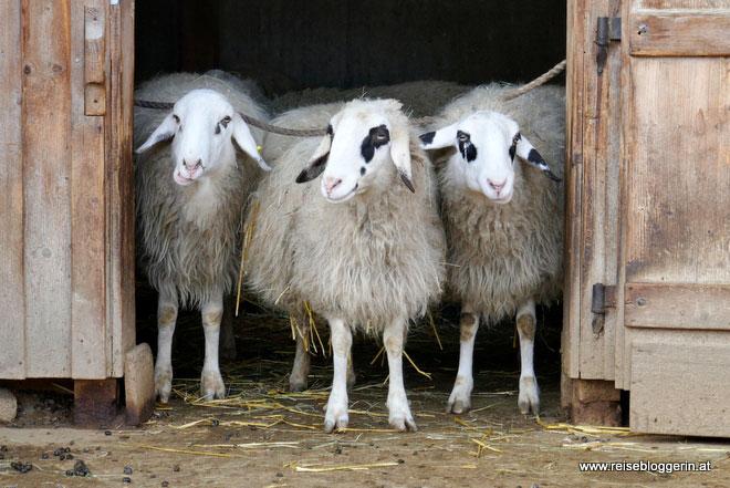 Schafe im Schloss Hof