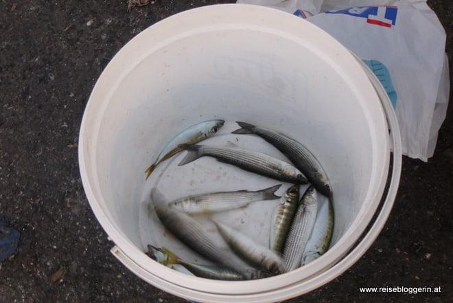 gefangene Fische, sind es Sardellen?