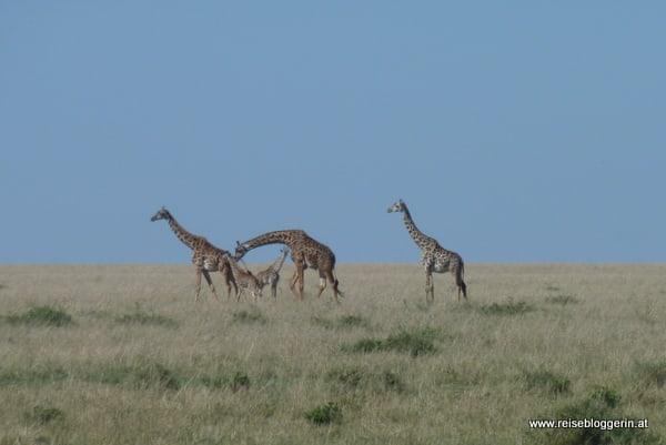 Giraffen in der Masai Mara