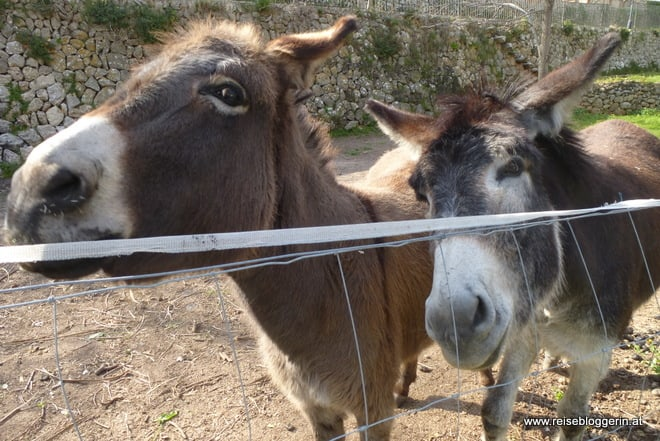 Zwei Esel