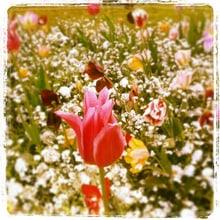 Tulpen im Minnewaterpark