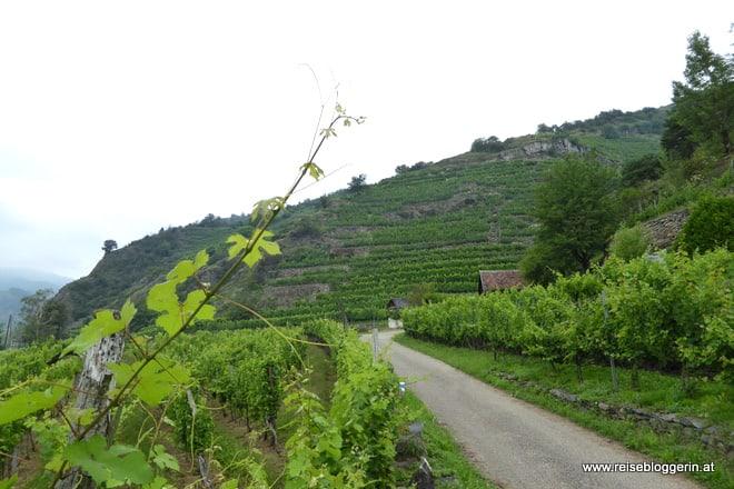 Wachau mit vielen Weinstöcken