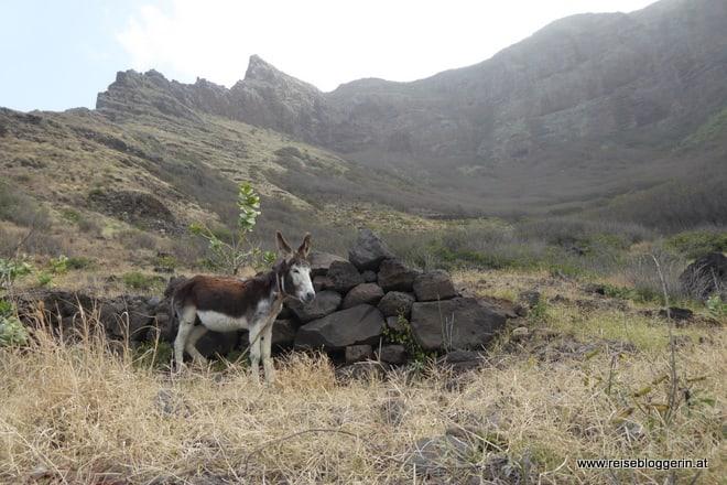 Ein Esel auf den Kapverden