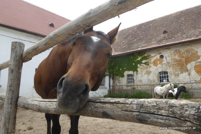 Pferd auf Schloss Hof