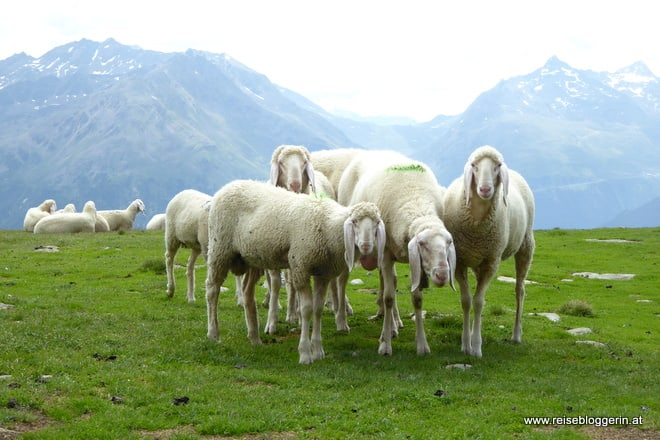 Schafwanderung im Ötztal