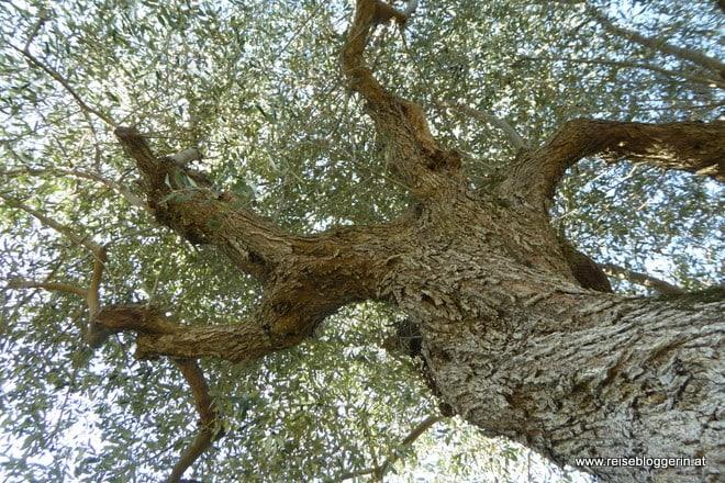 Olivenbaum in der Maremma
