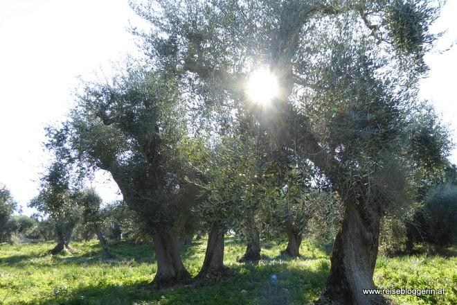 Olivenbäume in Orbetello