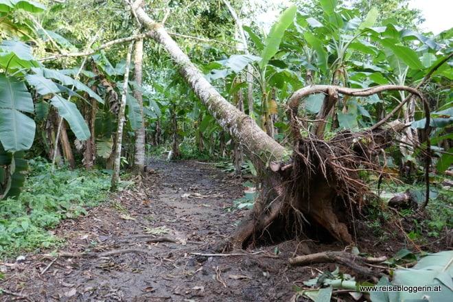 Hurrikan Otto entwurzelt Bäume in Costa Rica