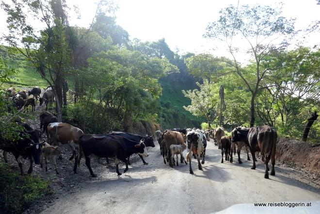 Kühe auf der Straße