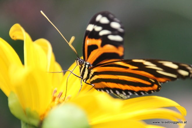 Tiger Passionsblumenfalter