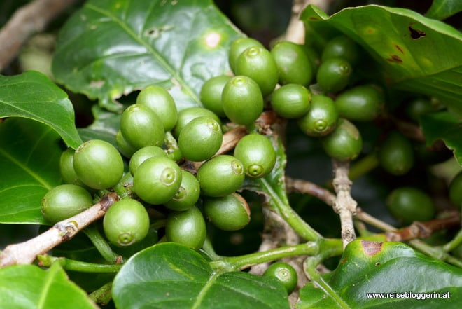 Grüne Kaffeekirschen