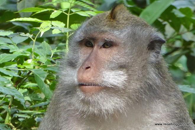 Ein Affe im Affenwald in Ubud