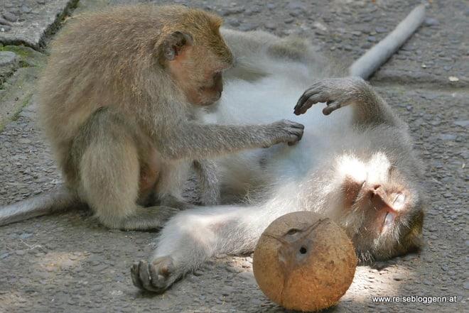 Affen beim Entlausen