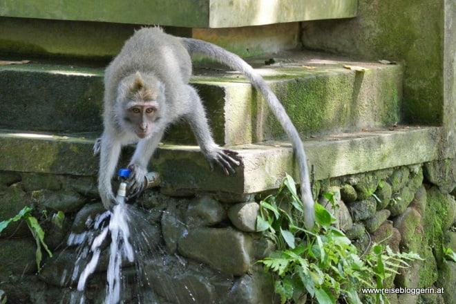 Makake im Affenwald in Ubud