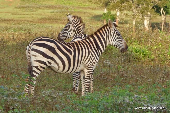Zebras auf der Halbinsel Cayo Saetia