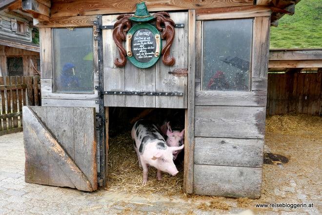 Schweine auf der Pottinger Alm