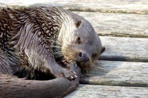 Otter in der Unterwasserwelt Schrems
