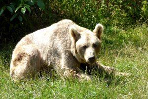 Ein Bär in Arbesbach im Waldviertel