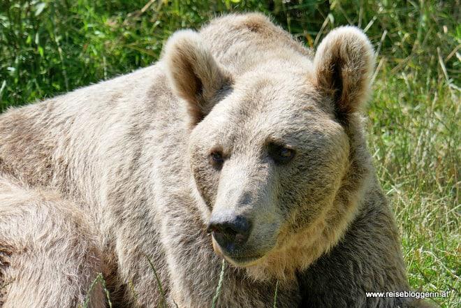 Ein Bär im Bärenwald in Arbesbach
