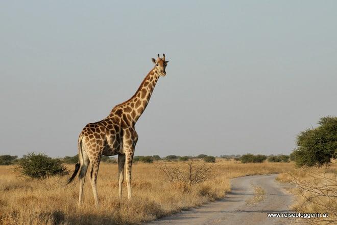 Eine Giraffe in Botswana