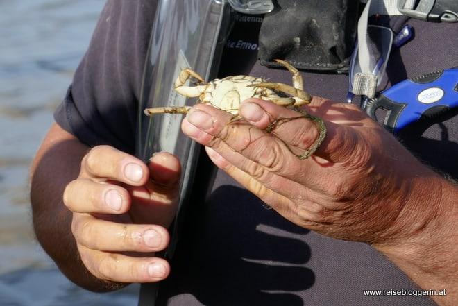 diesen Taschenkrebs haben wir bei der Wattwanderung an der Nordsee entdeckt