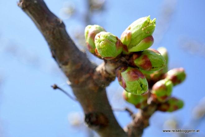 Die Kirschblüte in Purbach