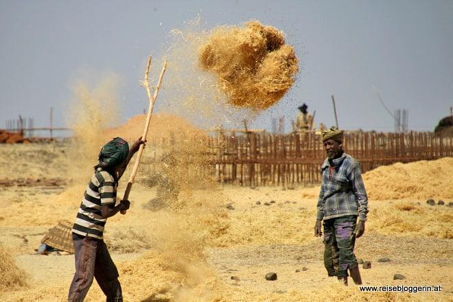 Äthiopische Bauern ernten Teff