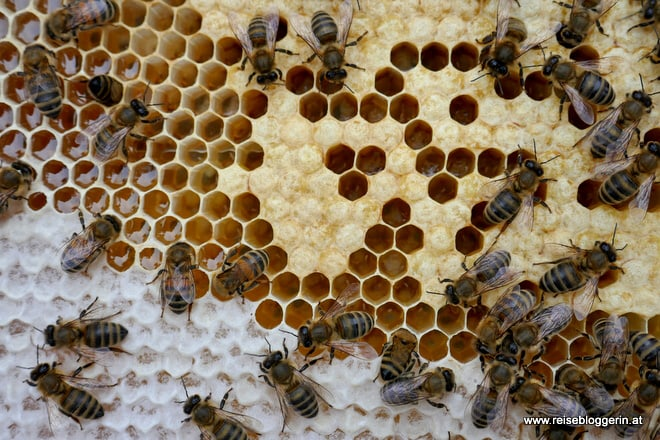 Bienen bauen Waben