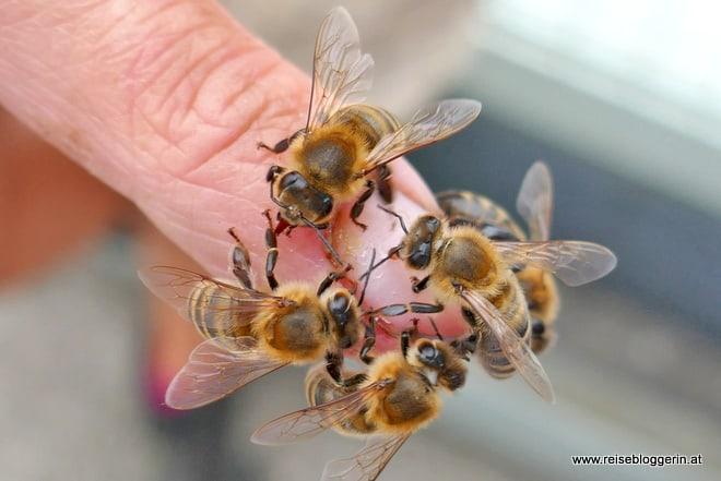 Die Bienen naschen den eigenen Honig
