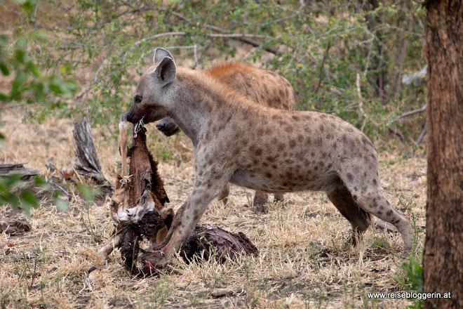 Hyänen im Kruger Nationalpark