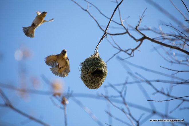 Webervögel in Südafrika