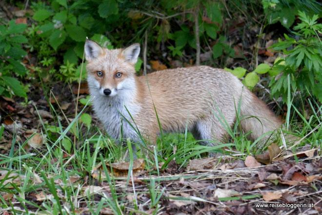 Fuchs auf Hokkaido