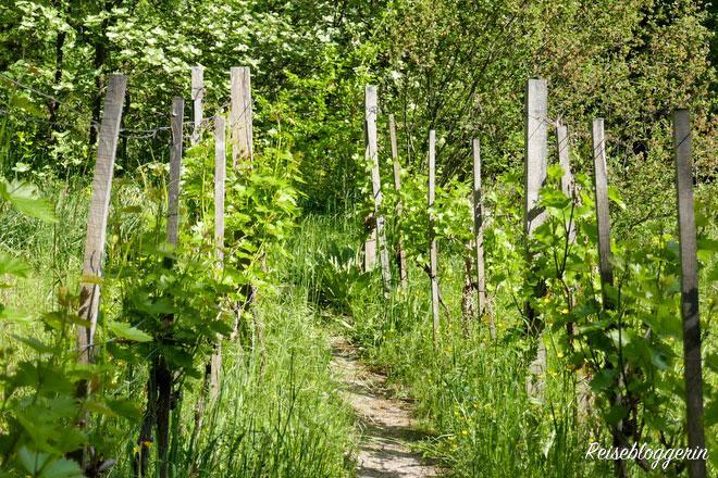 Der kleinste Weingarten in Wien